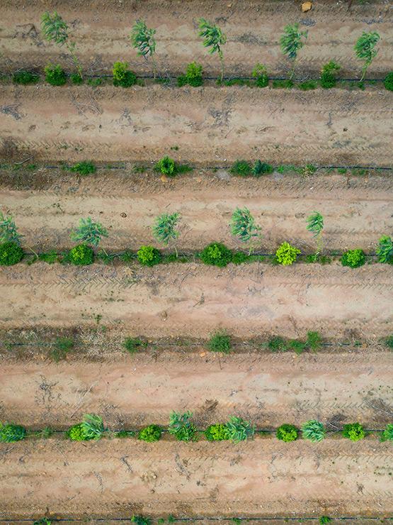Plantation de bois de santal